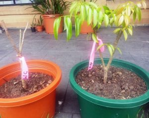 Kwai Mai Pink and Wai Chee lychees waiting to be put in the ground
