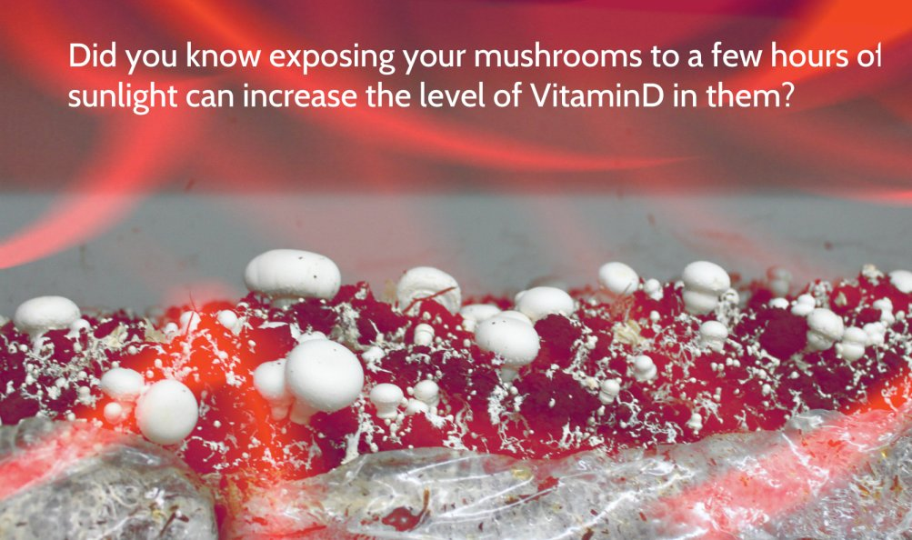 Did you know exposing mushrooms to sunlight can increase vitamin D