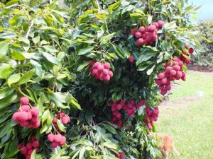 Lychee season draws visitors to farm