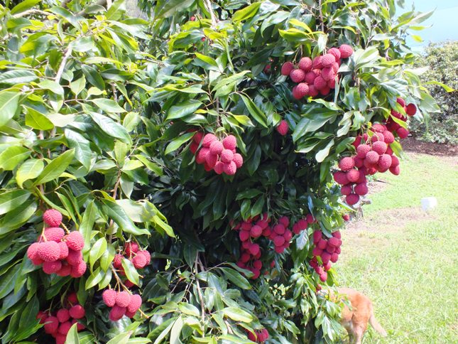 Lychee season is here lychees in bunches