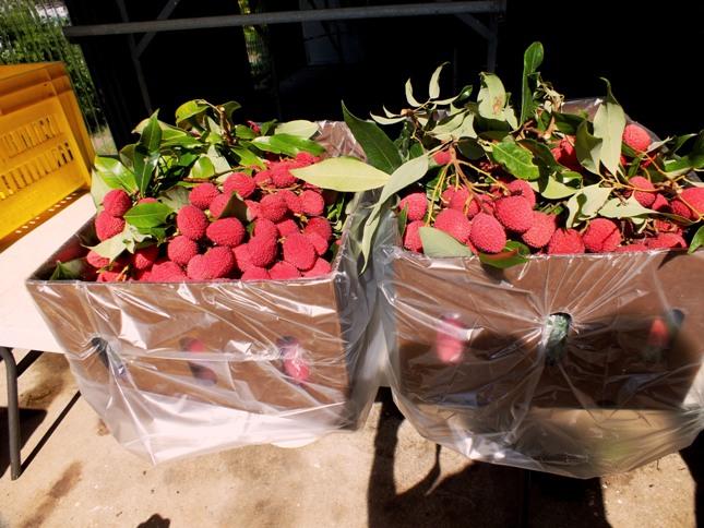 lychee season