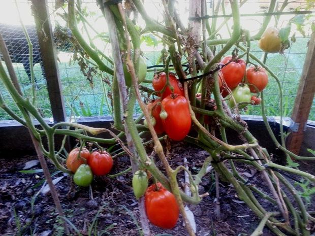 Polish tomatoes on the vine