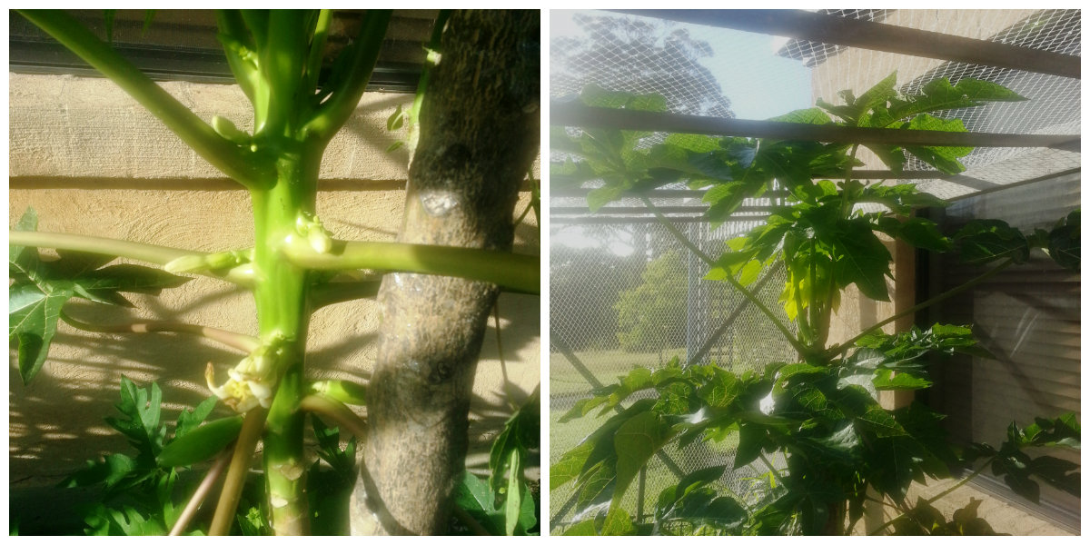 papayas growing on the trees collage