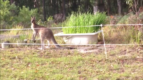 kangaroo in front of bathtub of homegrown water chestnuts